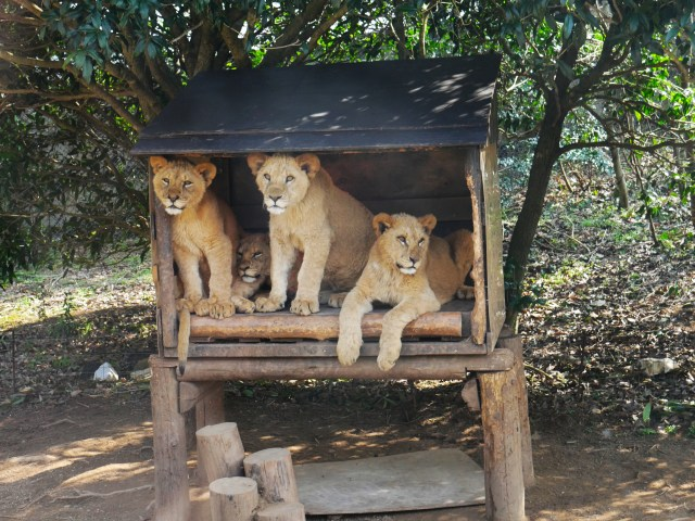 four young lion cubs sitting in a shelter on a safari tour in the Japanese countryside