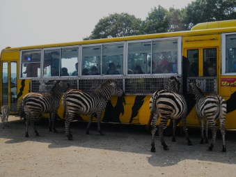 four zebras being fed from a safari tour in the Japanese countryside