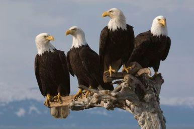 Bald eagles at Homer, AK