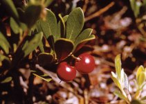 Bearberry: Everything You Need to Know