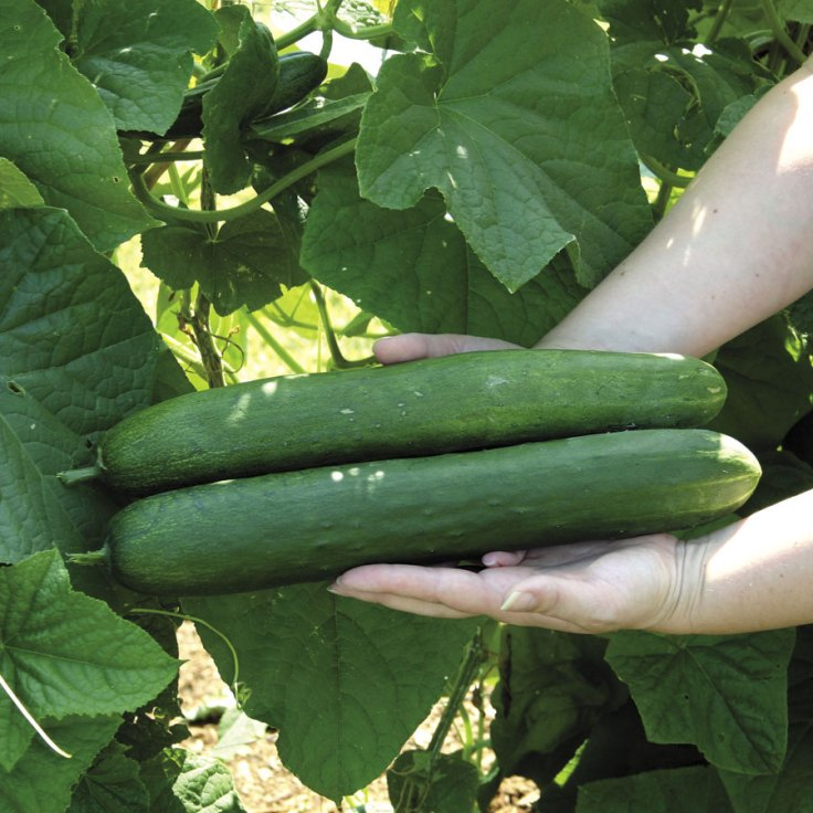 Sweet Success Cucumbers