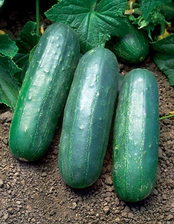Eureka Cucumbers