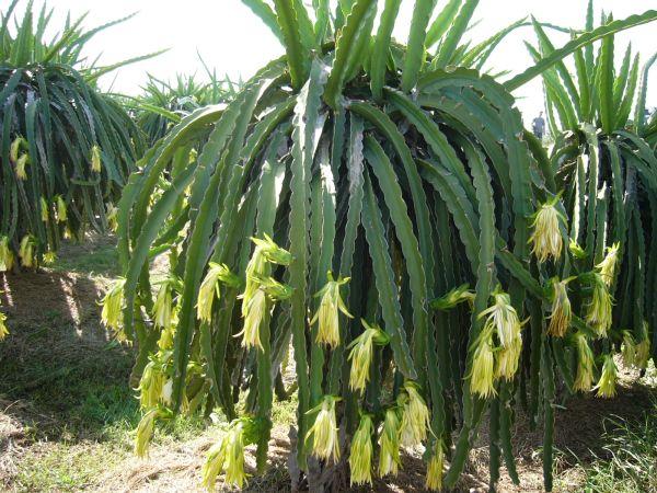 Dragon Fruit Takes a Long Time to Grow