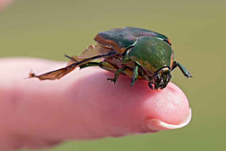What Does June Bugs Looks Like