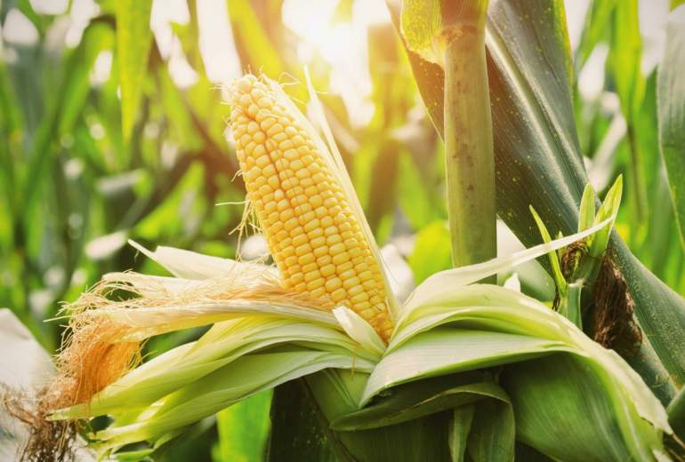How to Plant Corn in Containers