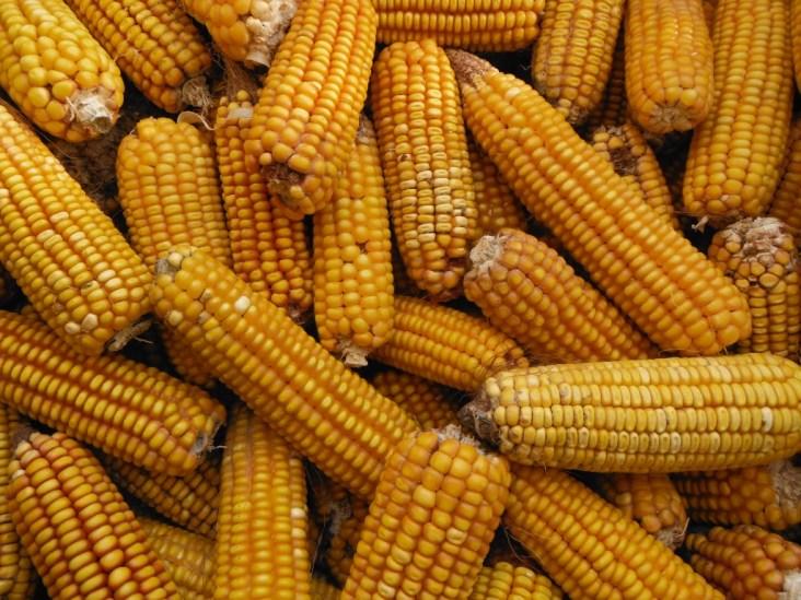 Dent or Field Corn