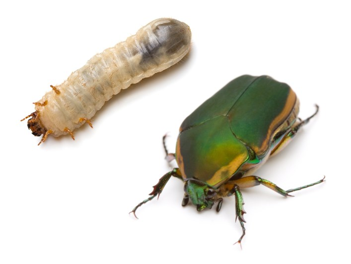 The Life Cycle of a June Bug