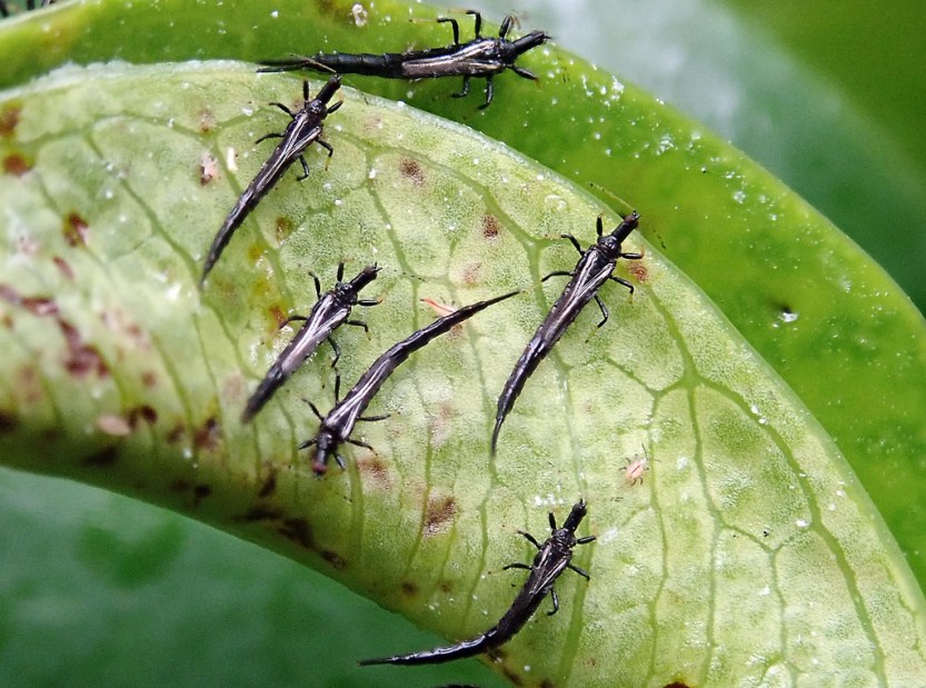 What Are Thrips?