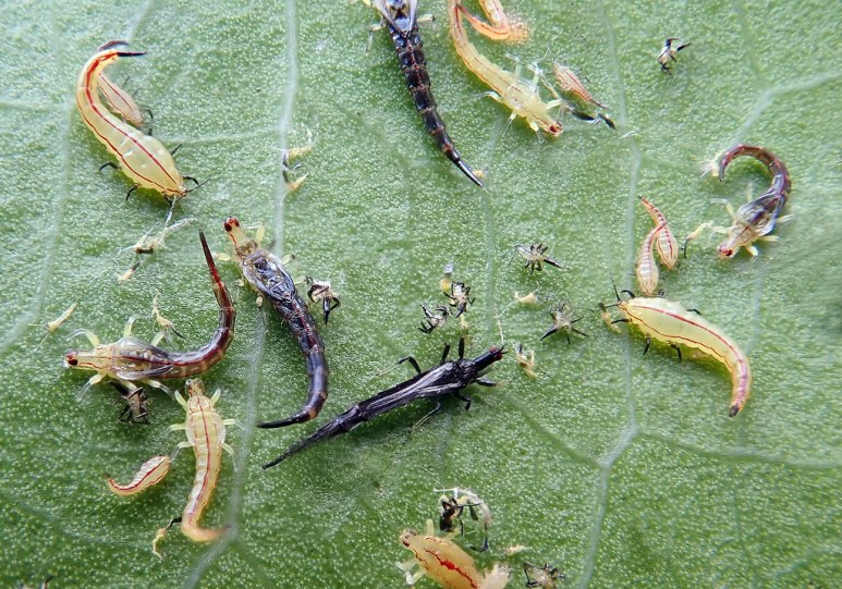 The Significant Damages of Thrips