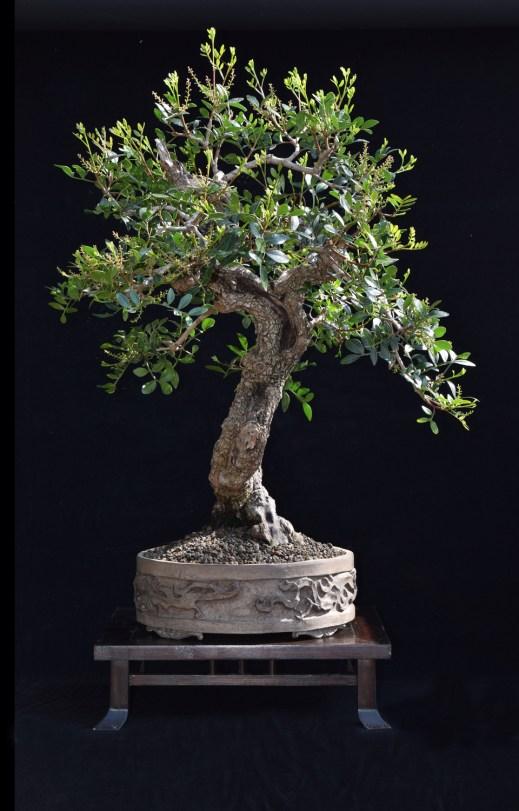 How To Grow Pistachio Tree in Pots