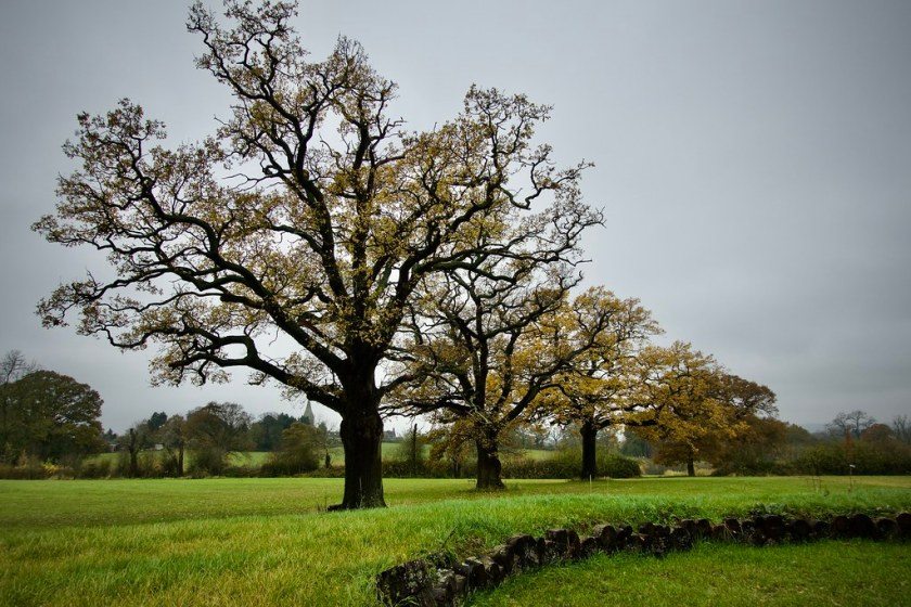 Oak Trees Different Types and Rate