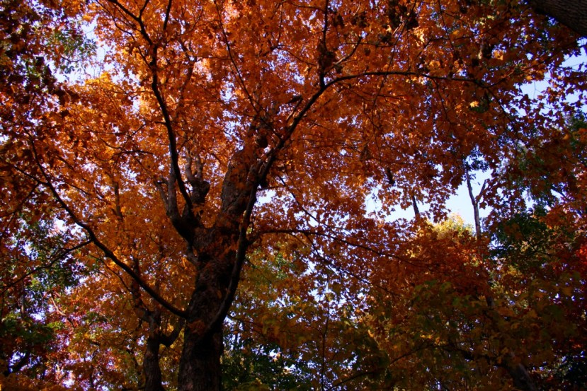 Difference Red Oak Tree and White Oak Tree
