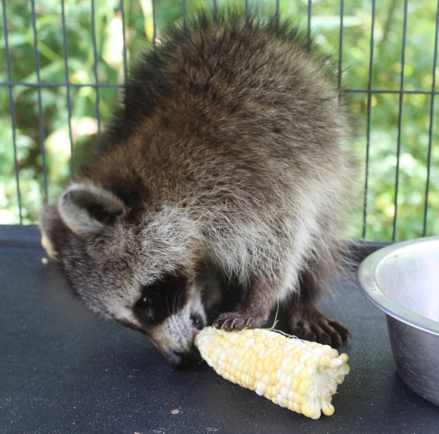How to Keep Raccoons out of Corn Pile