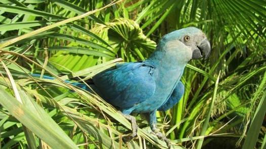 spixs_macaw_cyanopsitta_spixii