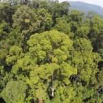 Este es el árbol tropical más alto del mundo, ¡supera los 100 metros de altura!
