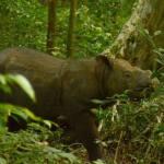 Es oficial: ha muerto el último rinoceronte de Sumatra macho que quedaba en Malasia