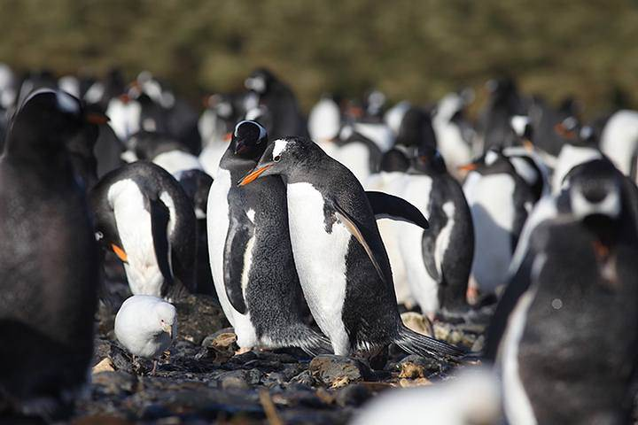 Microplastic remains detected in Antarctic penguins