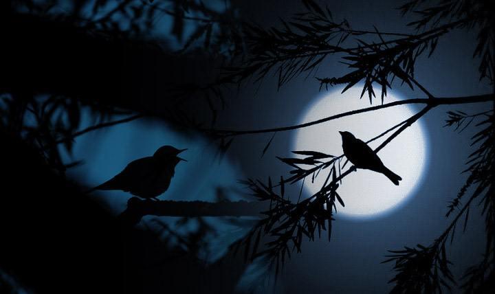 Aves cantando de noche.