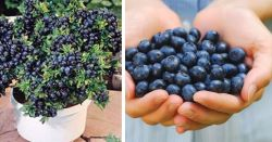 http://mysticalraven.com/health/5052/stop-buying-blueberries-use-these-clever-methods-to-get-a-never-ending-supply