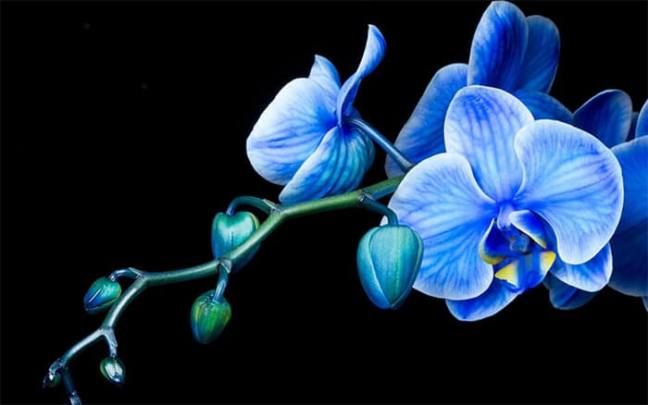 blue-orchid