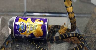 Man Sentenced to Federal Prison…Caught Smuggling Deadly King Cobra's In Potato Chip Can into USA