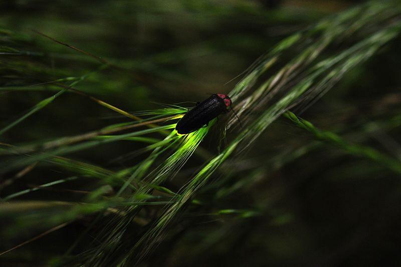 Firefly glowing - image by ホタル_蛍_Hotaru - Wilkimedia