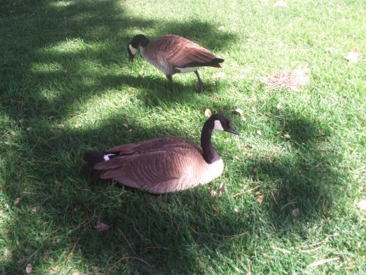 The Canadian Geese
