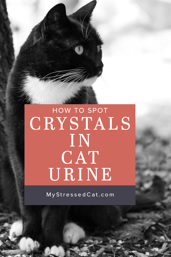 Crystals in Cat Urine: How to Spot Early Warning Signs ...