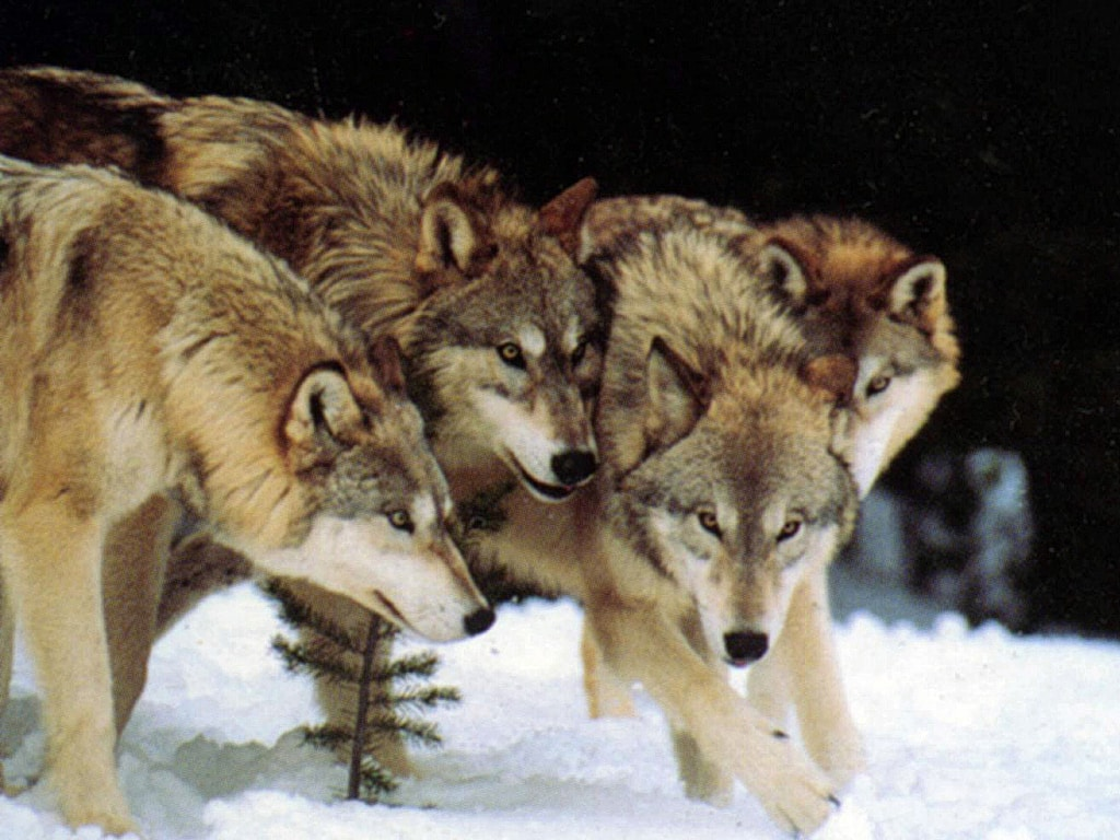 wolves, wolf-pack, friends