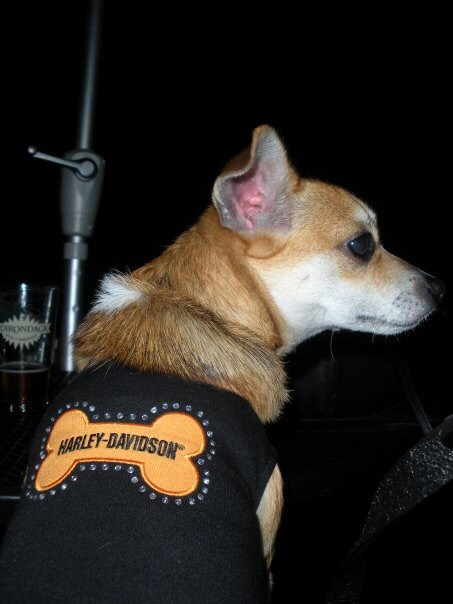 cute americade dogs motorcycles