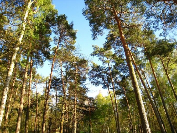 pine-1363119_1920