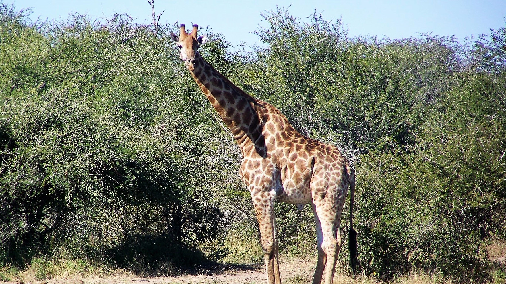 Image of a giraffe. Use your instant refund from the CRA for a trip to Africa!for