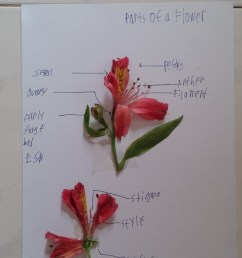 as labeling activities go identifying parts of the flower is fairly easy using a diagram from his science textbook as a guide motito correctly named all  [ 1024 x 1820 Pixel ]