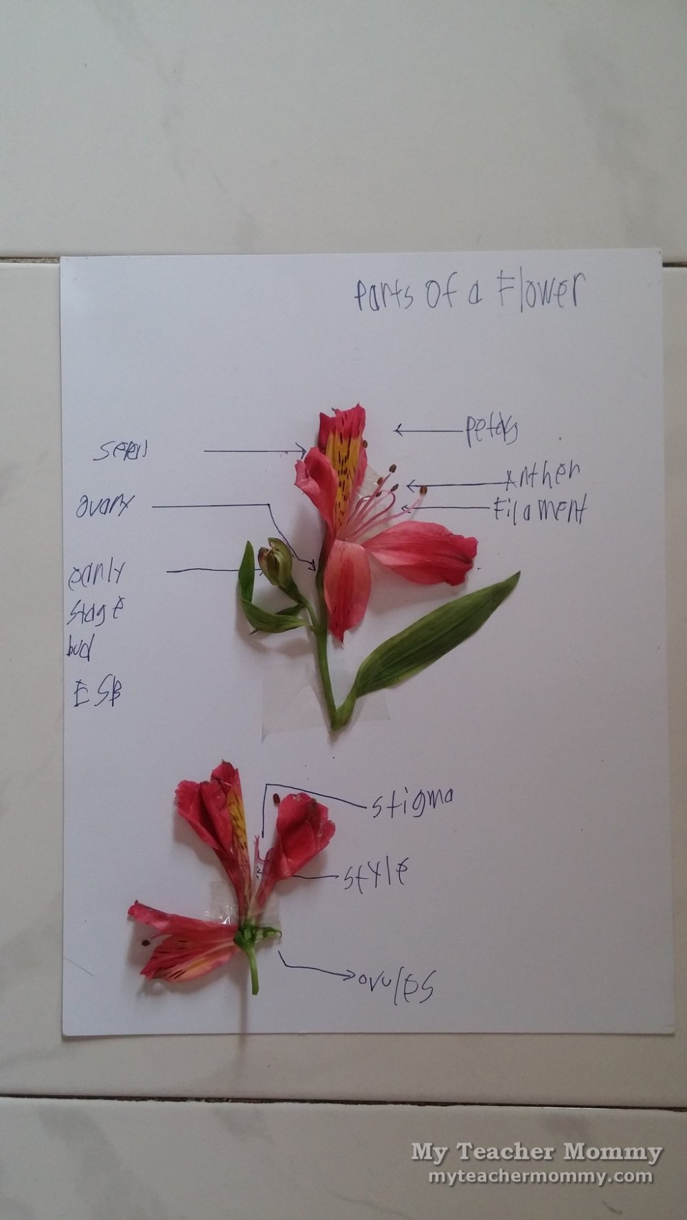 medium resolution of as labeling activities go identifying parts of the flower is fairly easy using a diagram from his science textbook as a guide motito correctly named all
