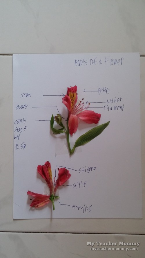small resolution of as labeling activities go identifying parts of the flower is fairly easy using a diagram from his science textbook as a guide motito correctly named all