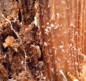 Termite Infestation In Cedar Stump