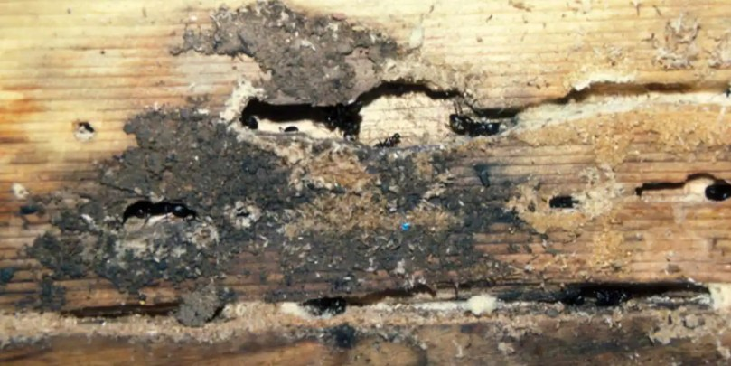 Carpenter Ant Damage