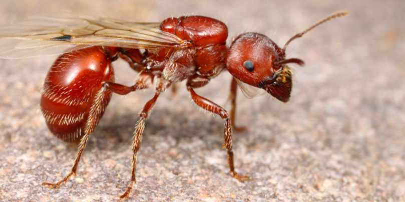 Red Harvester Ant Queen