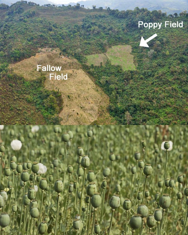 Poppy Fields of the Golden Triangle