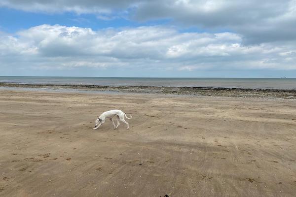 Lurcher on a beach