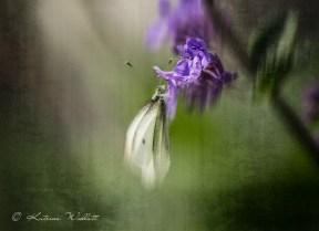 Butterfly-on-purple-6693-