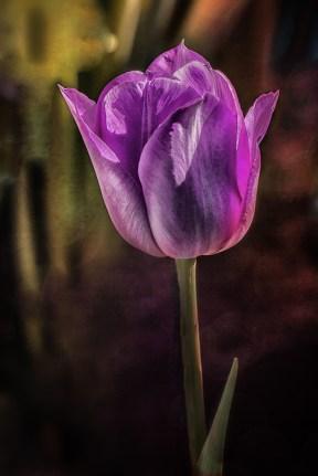 tulip001-