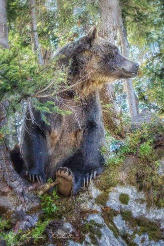 Grouse-Mountain-grizzlies-330-