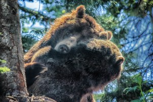 2 grizzly bears in hug hold