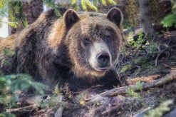 Grouse-Mountain-grizzly-2