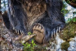 Grouse-Mountain-grizzly-paws