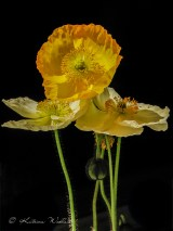 yellow and white icelandic poppies