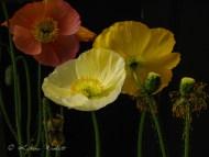 orange, yellow and white icelandic poppies
