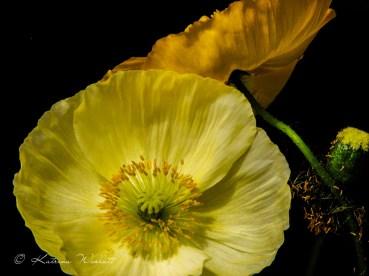 yellow and orange icelandic poppies