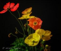 orange, yellow and red icelandic poppies